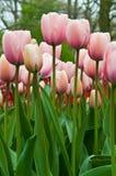 Rosafarbene Tulpen auf einem Gebiet. Stockfotos