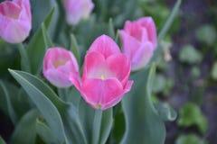 Rosafarbene Tulpen auf einem grünen Hintergrund Stockbild