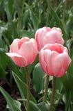 Rosafarbene Tulpen des Frühlinges Stockfotos