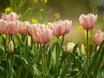 Rosafarbene Tulpen in einem Garten unter weicher Leuchte Lizenzfreies Stockbild