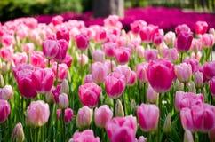 Rosafarbene Tulpen im Park lizenzfreies stockbild