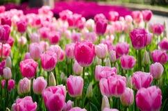 Rosafarbene Tulpen im Park lizenzfreie stockfotos