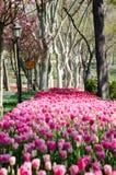 Rosafarbene Tulpen im Park Stockfoto