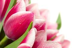 Rosafarbene Tulpen mit Wasser fällt auf weißen Hintergrund Stockfoto