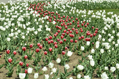 Rosafarbene Tulpen unter der Sonne Stockfotos