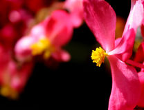 Rosafarbene u. gelbe Blumen Lizenzfreie Stockfotos