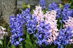 Rosafarbene und blaue Hyazinthe. Stockfoto