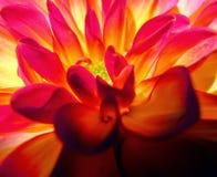 Rosafarbene und gelbe Dahlie lizenzfreies stockbild