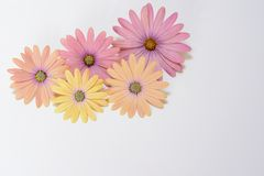 Rosafarbene und gelbe Gänseblümchen Lizenzfreie Stockfotos