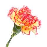 Rosafarbene und gelbe Gartennelke lizenzfreie stockfotografie