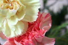 Rosafarbene und gelbe Gartennelken Lizenzfreie Stockbilder