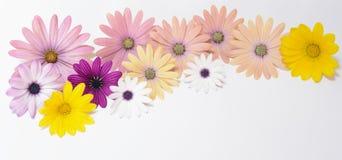 Rosafarbene und gelbe Gänseblümchen Stockbilder