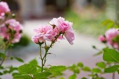 Rosafarbene und grüne Blätter des rosa Busches Lizenzfreie Stockfotografie