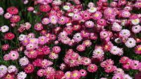 Rosafarbene und lila Blumen Lizenzfreies Stockbild