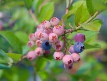 Rosafarbene und purpurrote blueberrys auf Baum Stockfotografie