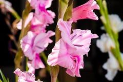 Rosafarbene und purpurrote Blume Lizenzfreies Stockbild