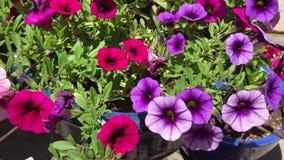 Rosafarbene und purpurrote Blumen stock video footage