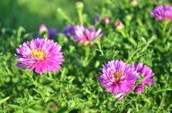 Rosafarbene und purpurrote Blumen Lizenzfreie Stockfotografie