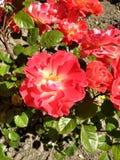 Rosafarbene und rote Blumen stockbild
