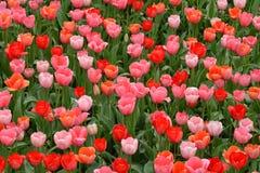 Rosafarbene und rote Tulpen stockbild