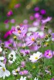 Rosafarbene und weiße Blumen Stockbilder