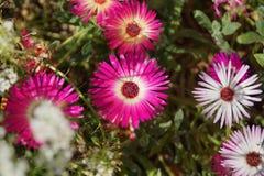 Rosafarbene und weiße Blumen Lizenzfreie Stockfotografie