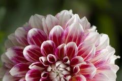 Rosafarbene und weiße Dahlie stockfotografie