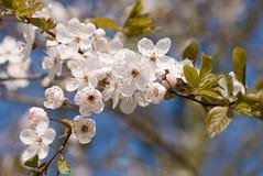 Rosafarbene und weiße Frühlingsblüte gegen einen blauen Himmel. lizenzfreie stockfotografie