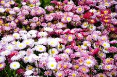 Rosafarbene und weiße Gänseblümchen Stockfotos
