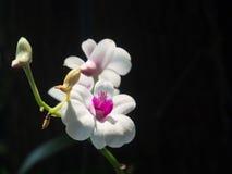 Rosafarbene und weiße Orchidee Lizenzfreies Stockfoto