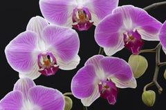 Rosafarbene und weiße Orchideen Stockbild