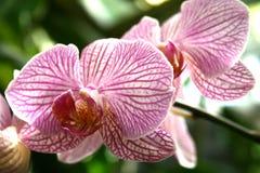 Rosafarbene und weiße Orchideen lizenzfreies stockfoto
