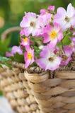 Rosafarbene und weiße Teppich-Rosen in einem Korb Stockbild