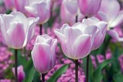 Rosafarbene und weiße Tulpen Lizenzfreies Stockfoto