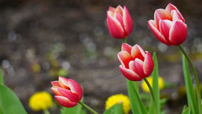 Rosafarbene und weiße Tulpen stockbild