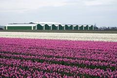 Rosafarbene und weiße Tulpen Stockfotografie
