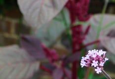 Rosafarbene Verbeneblume stockfotos