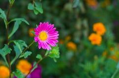 Rosafarbene Vielzahl der Asterblume Stockfoto