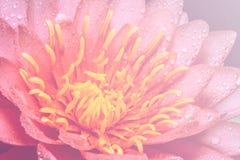 Rosafarbene Wasser-Lilie Lizenzfreie Stockbilder