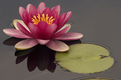 Rosafarbene Wasser-Lilie Stockfoto