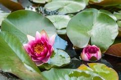 Rosafarbene Wasser-Lilie Lizenzfreies Stockfoto