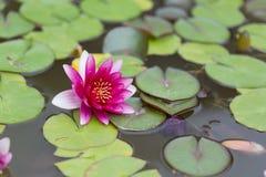 Rosafarbene Wasser-Lilie Lizenzfreie Stockfotografie