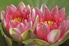 Rosafarbene Wasserlilie Lizenzfreie Stockfotos