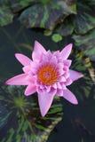 Rosafarbene Wasserlilie lizenzfreie stockfotografie
