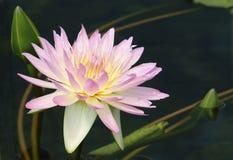 Rosafarbene Wasserlilie Stockfotos