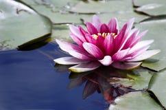 Rosafarbene Wasserlilie Lizenzfreies Stockfoto
