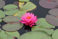 Rosafarbene Wasserlilie in der Blüte Lizenzfreies Stockfoto