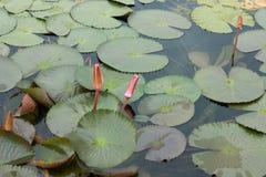 Rosafarbene Wasserlilie mit Lotosblatt auf Teich Lizenzfreies Stockfoto