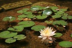 Rosafarbene Wasserlilie und -blätter Stockfotografie