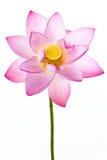Rosafarbene Wasserlilienblume (Lotos) und weißes backgroun Stockbilder
